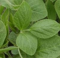 Micronutrients for Soybean Production