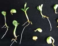 Identifying Novel Resistance to Seed and Seedling Rot Pathogens