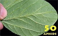 Update on Breeding for Soybean Aphid Resistance