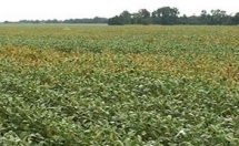 Cropping System Diversification Reduces Incidence and Severity of Soybean Sudden Death Syndrome (SDS)