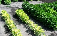 Combating Iron Deficiency Chlorosis