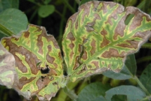 Foliar symptoms of SDS